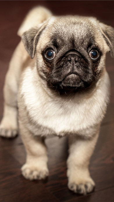 Dogs Hd Wallpapers Of Pugs Huskies Golden Retrievers And More